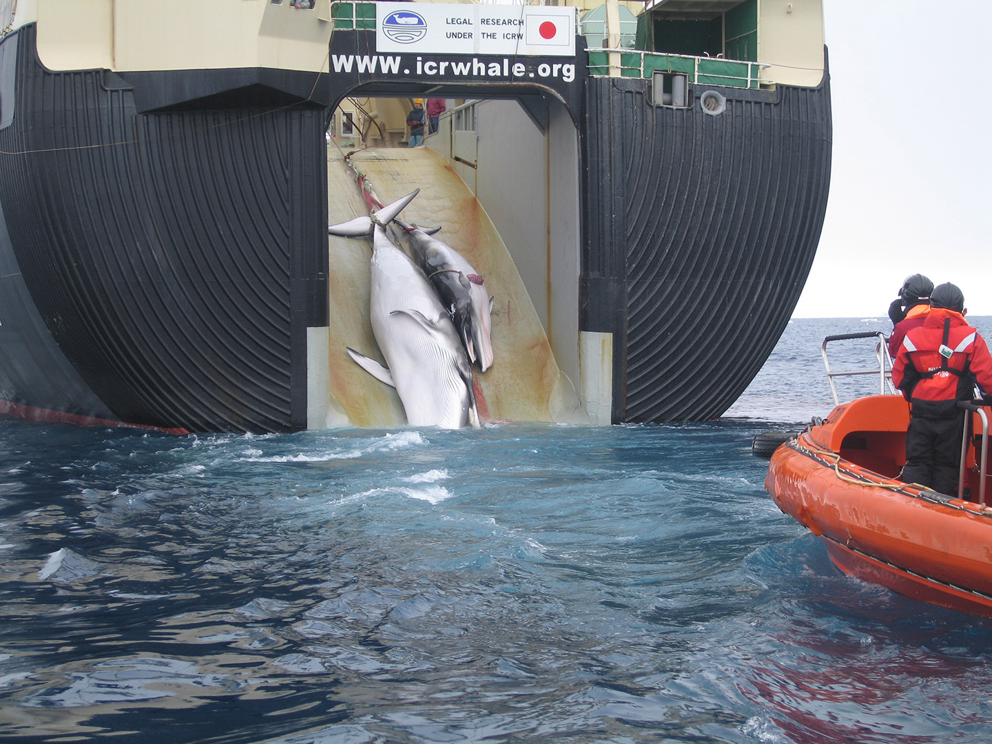 angel ugarteburu Japan Factory Ship Nisshin Maru Whaling Mother and Calf